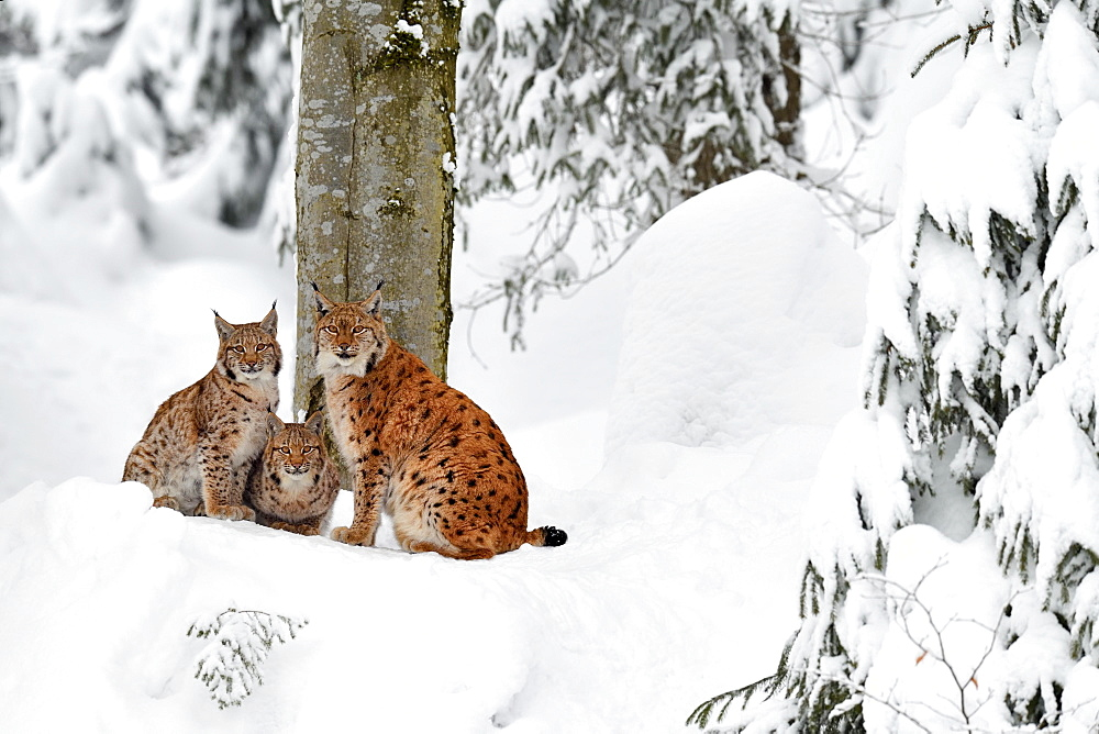 Eurasian lynxes (Lynx lynx), mother sits with kittens in the snow, captive, Germany, Europe