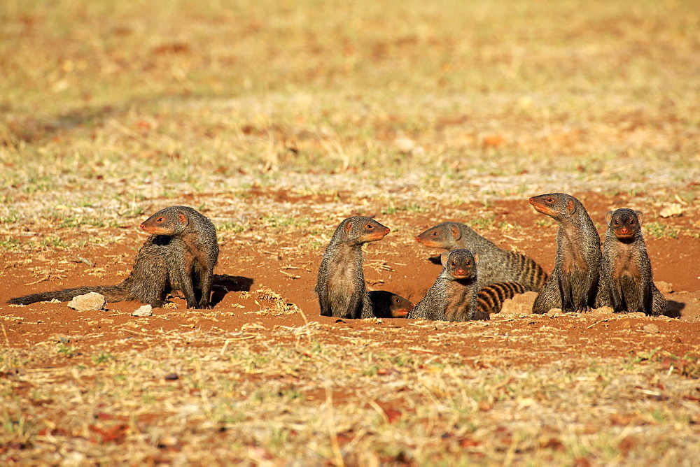 Banded Mongoose (Mungos mungo), mongoose familiy with pups, at the den, Kruger National Park, South Africa, Africa