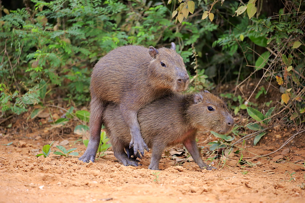 Capybara (Hydrochoerus hydrochaeris), young animals, on land, social behavior, playing, Pantanal, Mato Grosso, Brazil, South America