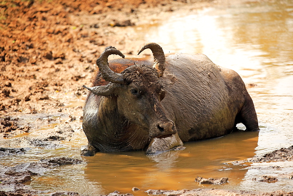 Water buffalo (Bubalis bubalis), adult in water, bathing, Bundala National Park, Sri Lanka, Asia