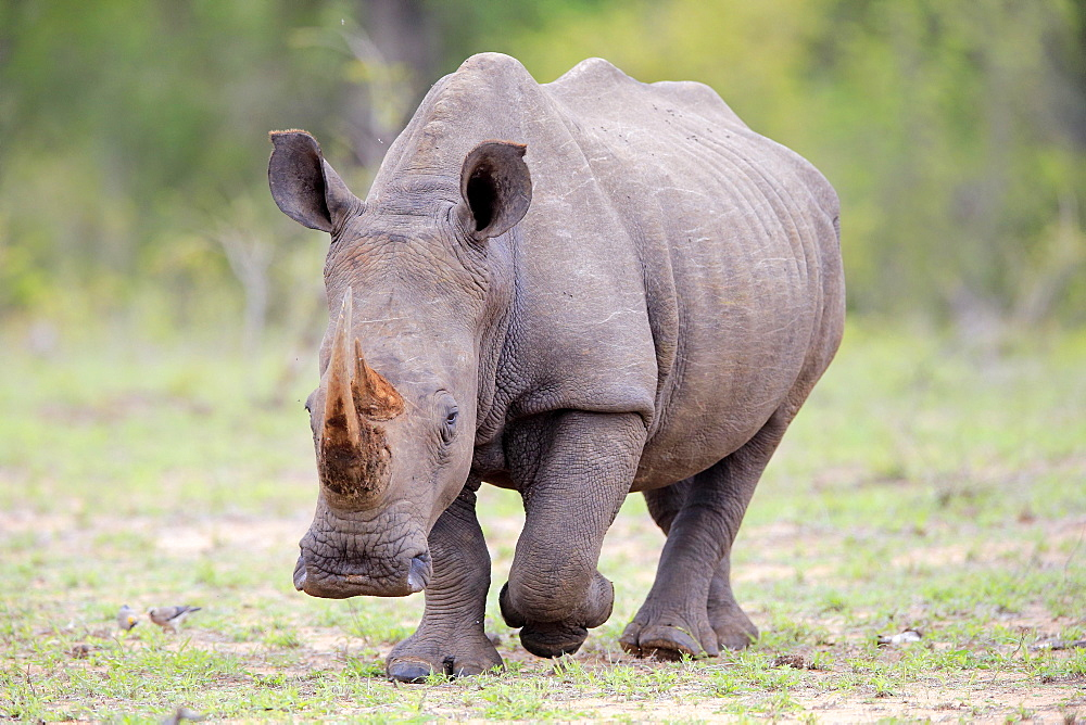 White rhinoceros (Ceratotherium simum), adult, running, Pachyderm, Sabi Sand Game Reserve, Kruger National Park, South Africa, Africa