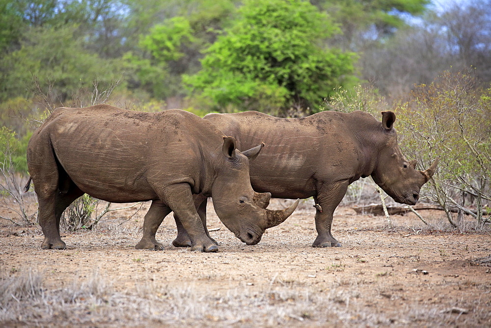 Two White rhinoceroses (Ceratotherium simum), adult, two males, pachyderms, Kruger National Park, South Africa, Africa