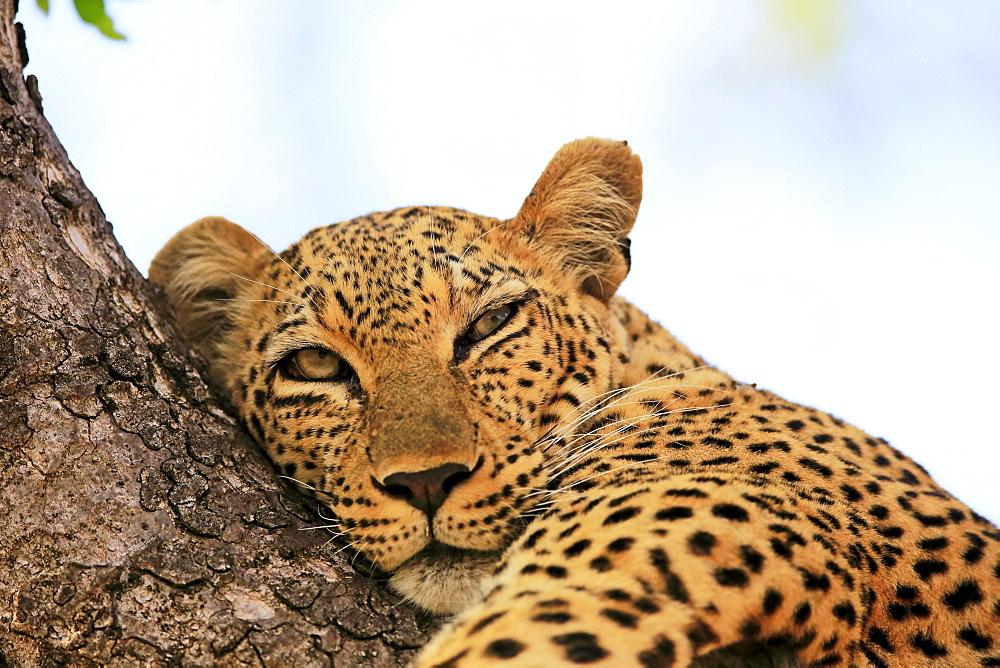 Leopard (Panthera pardus), adult, on tree, resting, animal portrait, Sabi Sand Game Reserve, Kruger National Park, South Africa, Africa