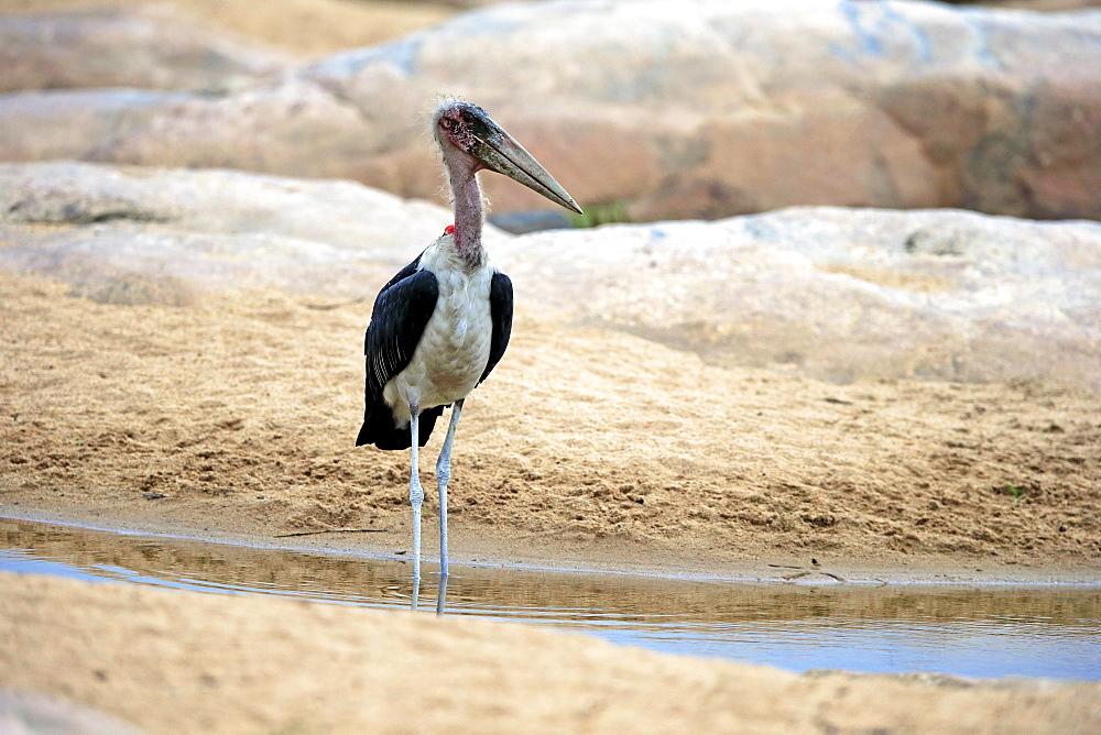 Marabou stork (Leptoptilos crumeniferus), adult, in the water, Kruger National Park, South Africa, Africa