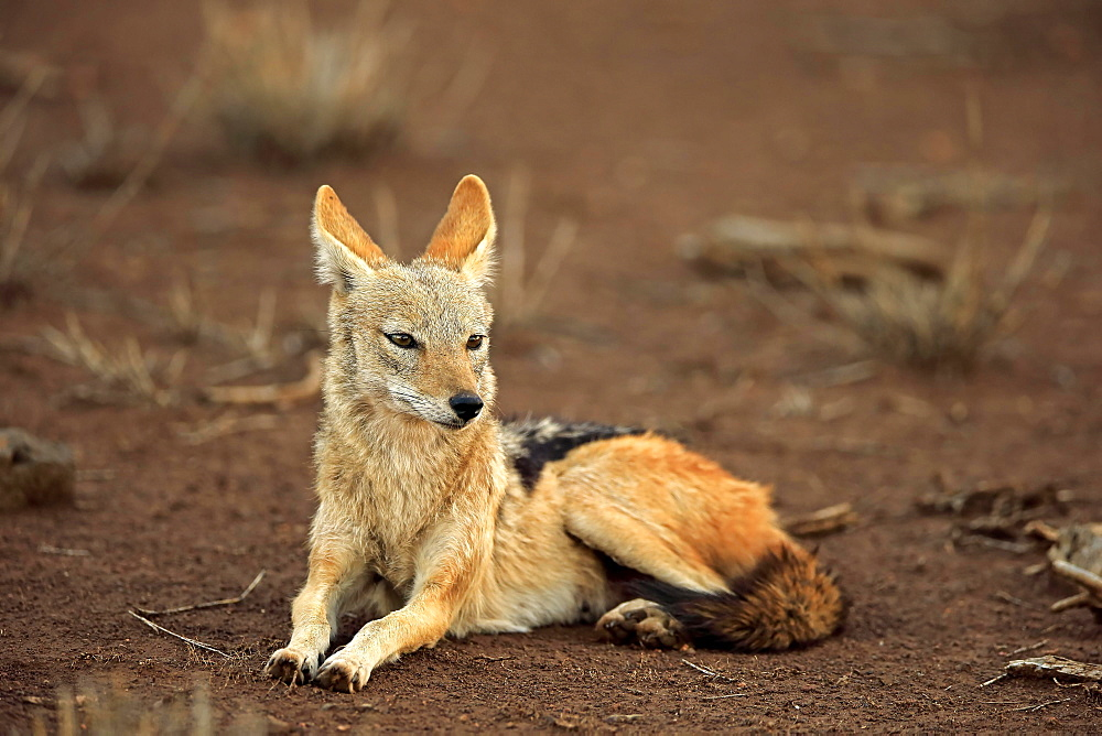 Black-backed Jackal (Canis mesomelas), adult, sits attentively, Kruger National Park, South Africa, Africa