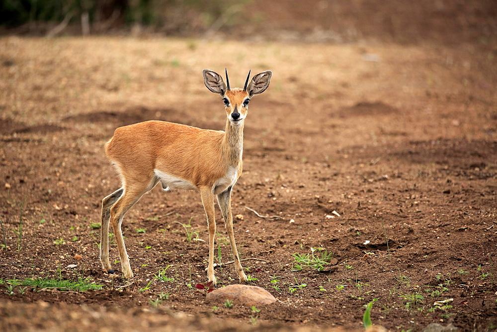 Steenboks (Raphicerus campestris), adult male, attentive, Kruger National Park, South Africa, Africa