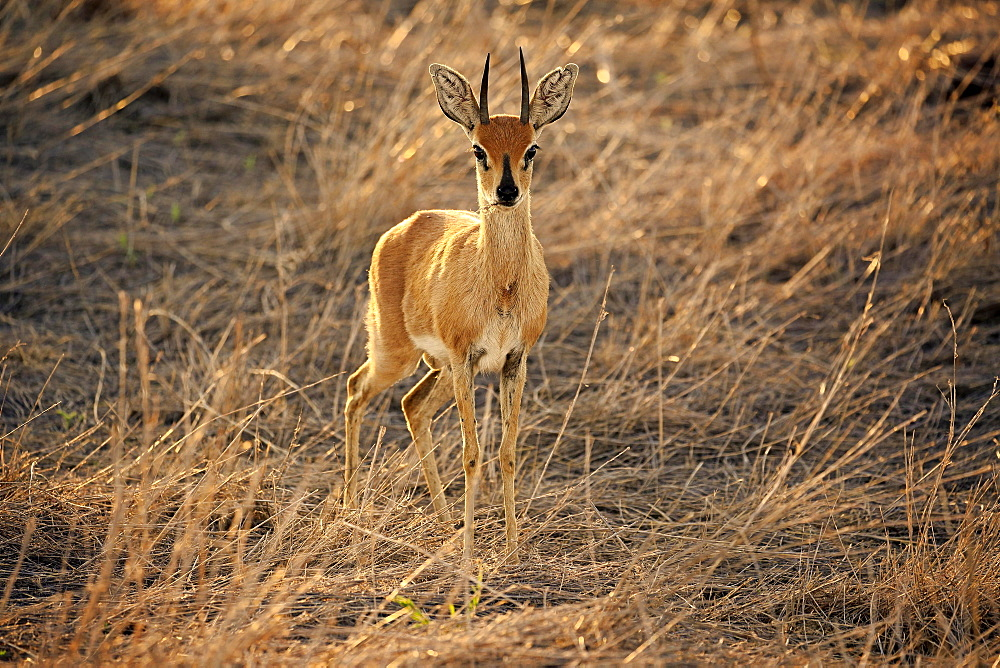 Steenboks (Raphicerus campestris), adult male, attentive, standing in dry grass, Kruger National Park, South Africa, Africa