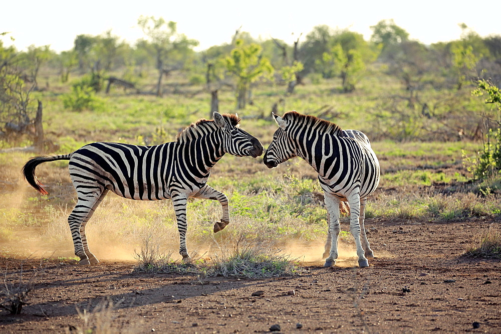 Burchell's Zebras (Equus quagga burchelli), adult, two males fighting, social behavior, Kruger National Park, South Africa, Africa