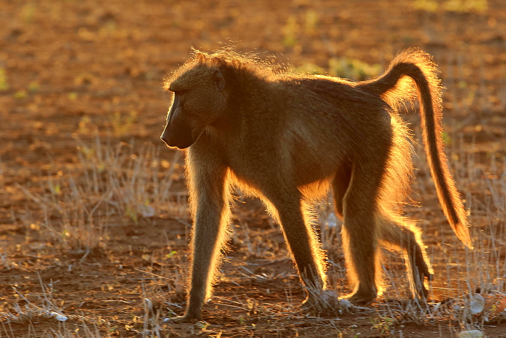 Chacma baboon (Papio ursinus), adult, male backlit at sunset, Kruger National Park, South Africa, Africa