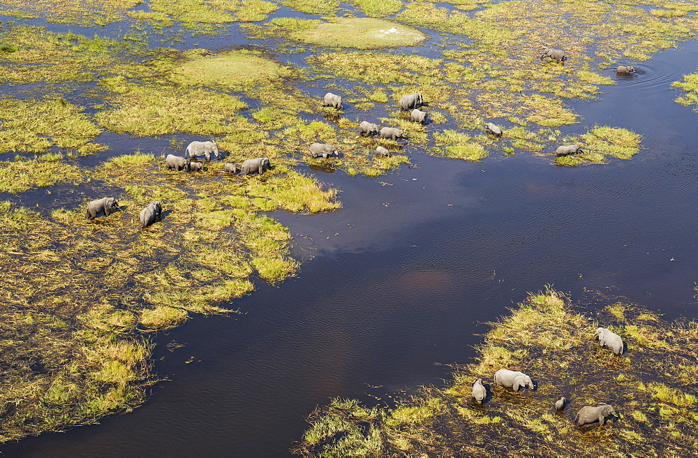 African Elephants (Loxodonta africana), breeding herd, feeding and drinking in a freshwater marsh, aerial view, Okavango Delta, Botswana, Africa