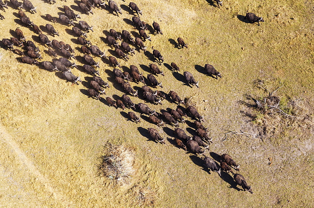 Cape Buffaloes (Syncerus caffer caffer), roaming herd, Okavango Delta, Botswana, Africa