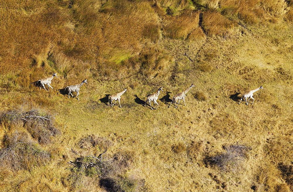 South African Giraffes (Giraffa camelopardalis giraffa), roaming in freshwater marshland, Okavango Delta, Botswana, Africa