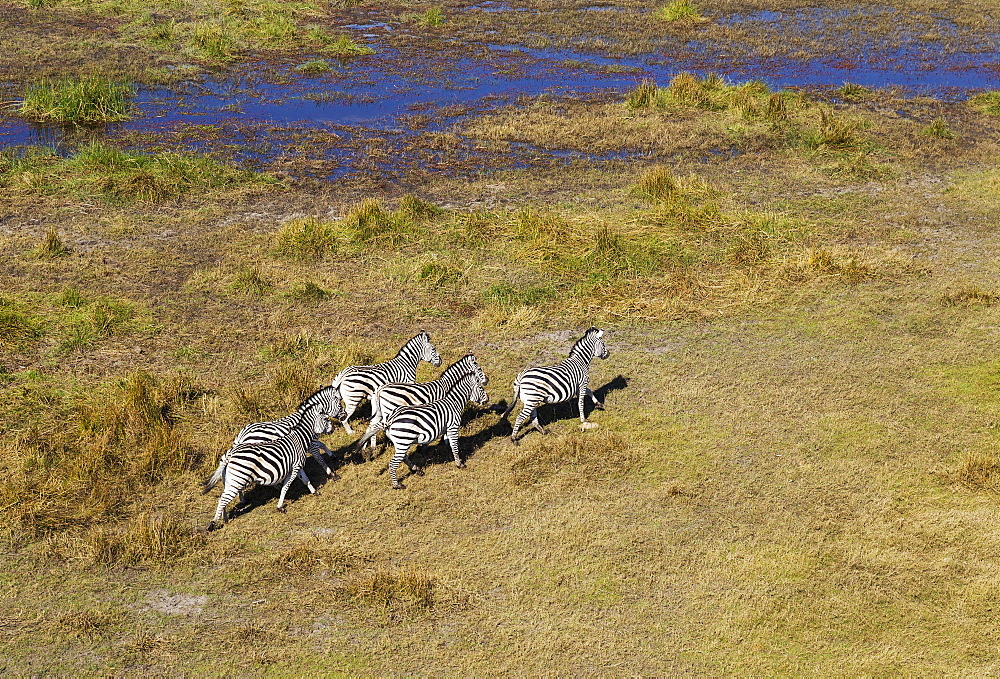 Burchell's Zebras (Equus quagga burchelli), roaming at the edge of a freshwater marsh, aerial view, Okavango Delta, Botswana, Africa