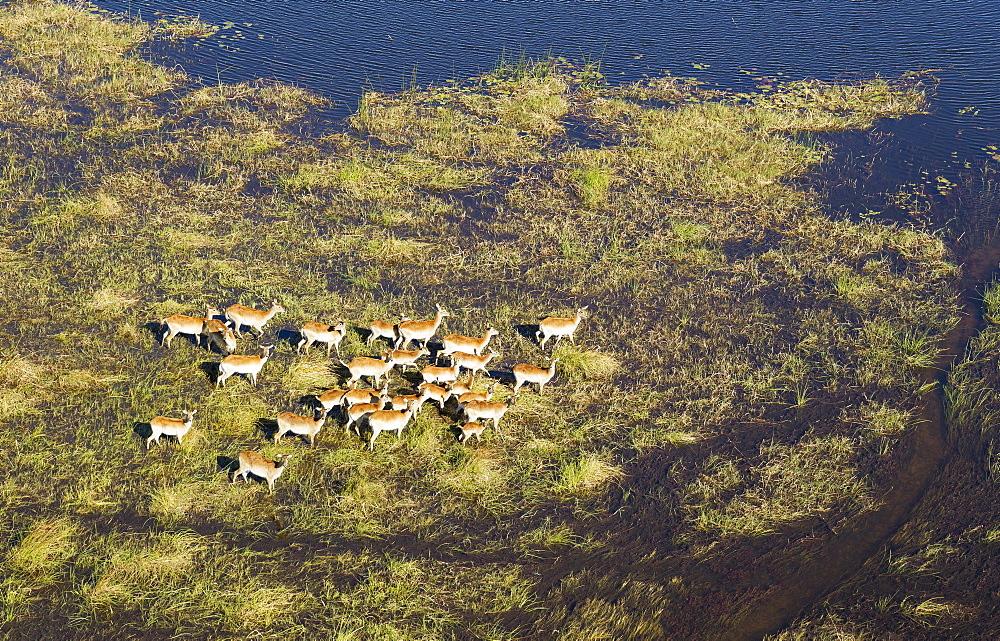 Red Lechwe (Kobus leche leche) herd in a freshwater marsh, aerial view, Okavango Delta, Botswana, Africa