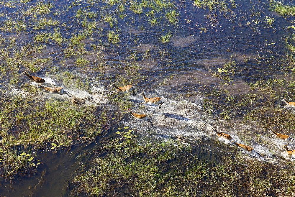 Red Lechwe (Kobus leche leche), running in a freshwater marsh, aerial view, Okavango Delta, Botswana, Africa