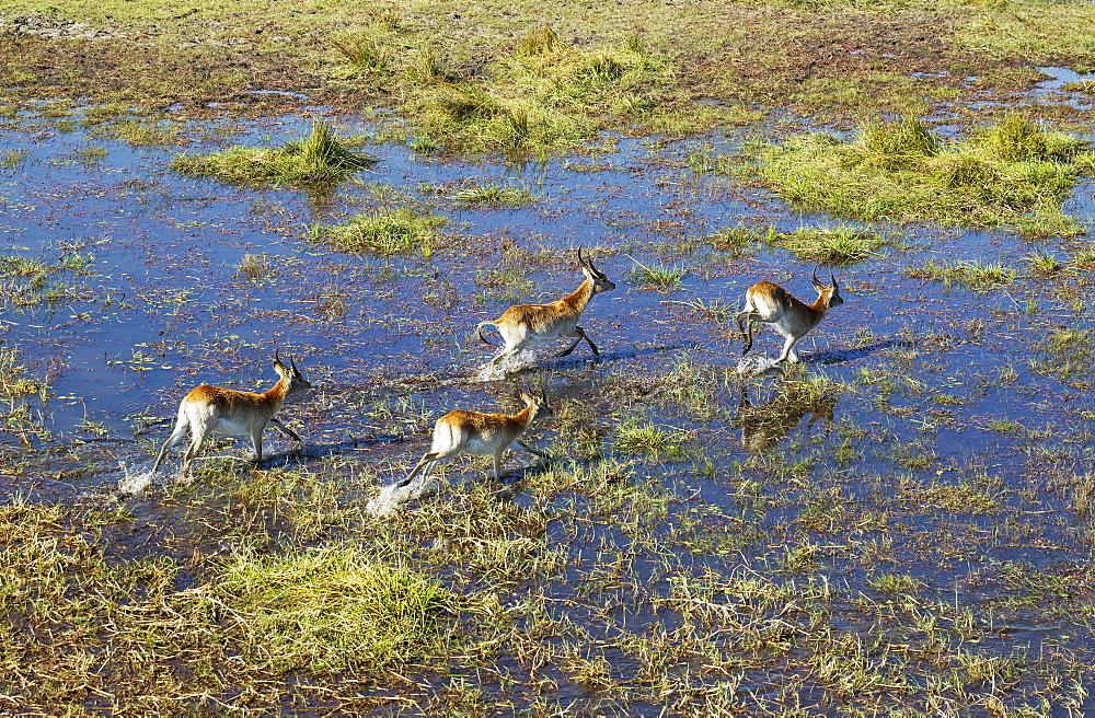 Red Lechwe (Kobus leche leche), different aged males, running in a freshwater marsh, aerial view, Okavango Delta, Botswana, Africa
