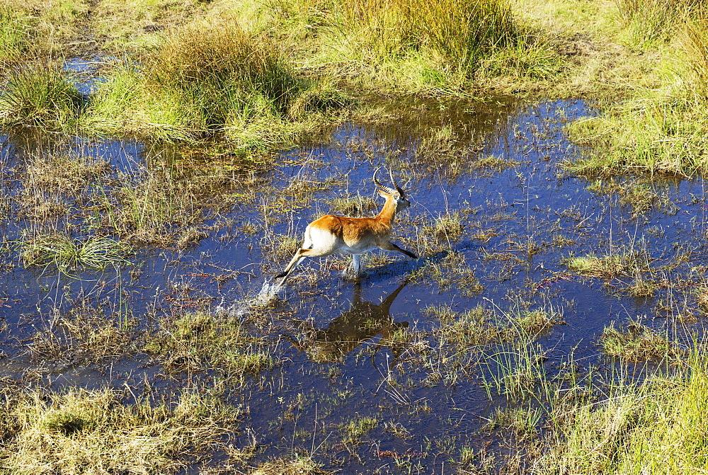 Red Lechwe (Kobus leche leche), male, running in a freshwater marsh, aerial view, Okavango Delta, Botswana, Africa