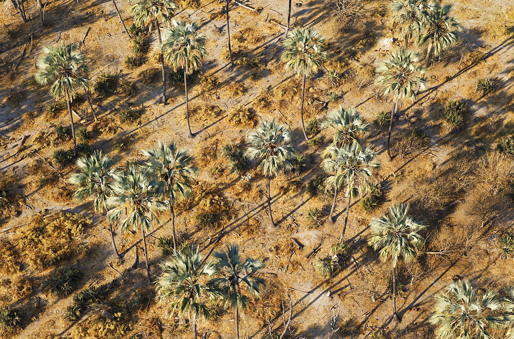 Real Fan Palms, Makalani Palms (Hyphaene petersiana), aerial view, Okavango Delta, Botswana, Africa
