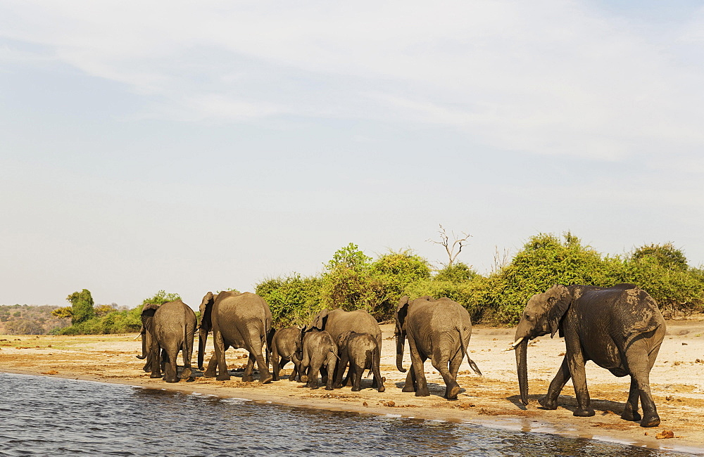 African Elephant (Loxodonta africana), breeding herd has been drinking at the bank of the Chobe River, photographed from a boat, Chobe National Park, Botswana, Africa