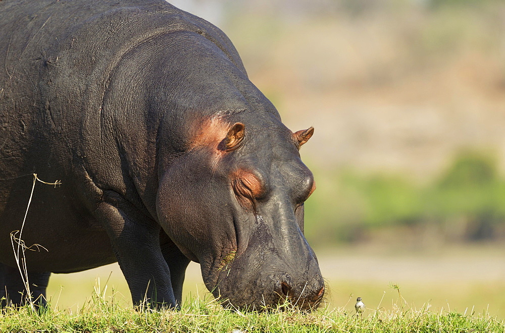Hippopotamus (Hippopotamus amphibius), grazing at the bank of the Chobe River next to a little bird, Chobe National Park, Botswana, Africa