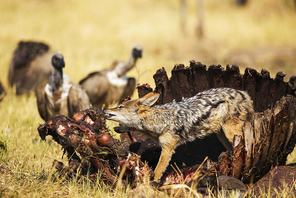 Black-backed Jackal (Canis mesomelas), at the carcass of a Cape Buffalo (Syncerus caffer caffer), in the background some White-backed Vultures (Gyps africanus), Savuti, Chobe National Park, Botswana, Africa