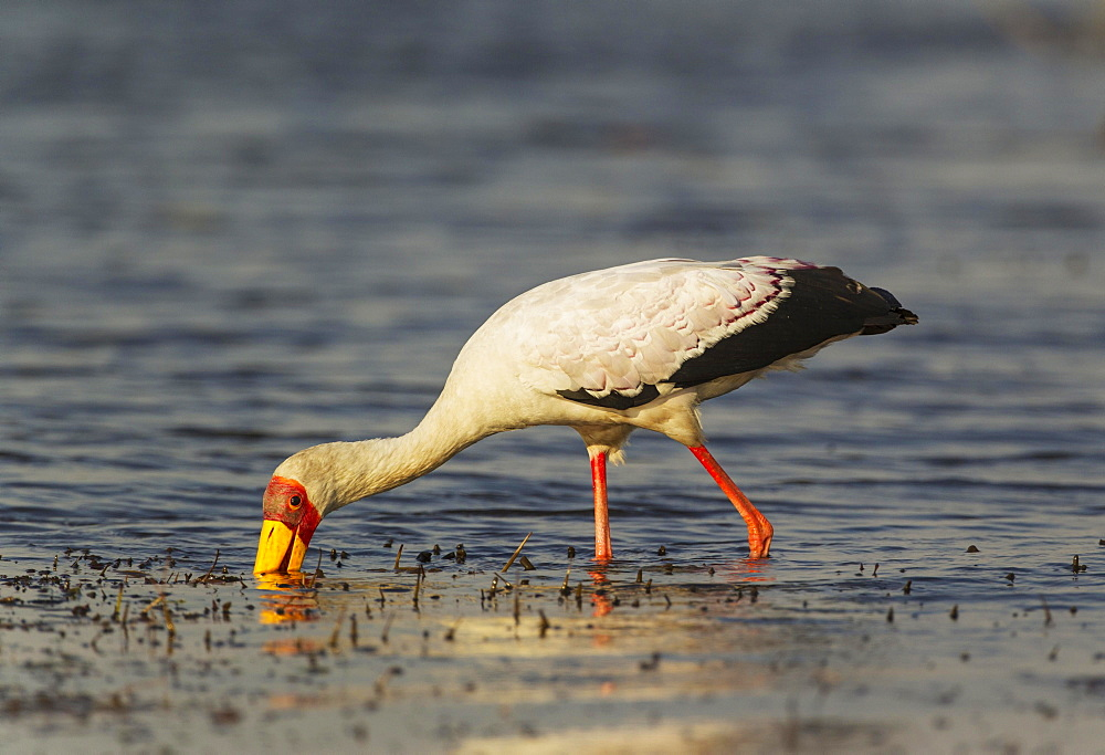 Yellow-billed Stork (Mycteria ibis), hunting in the shallow water at the shore of the Chobe River, Chobe National Park, Botswana, Africa