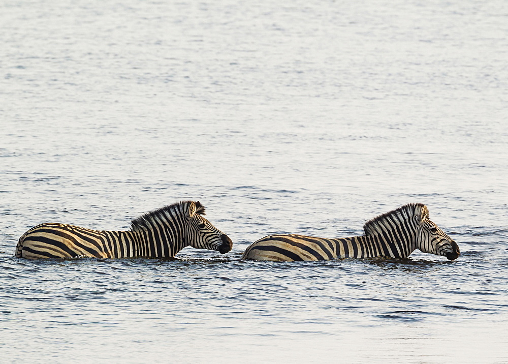 Burchell's Zebra (Equus quagga burchelli) in the water, crossing the Chobe River, Chobe National Park, Botswana, Africa