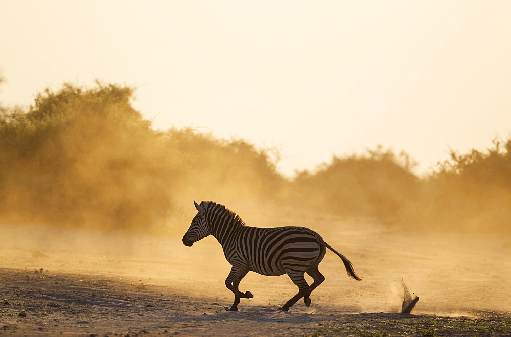Burchell's Zebra (Equus quagga burchelli), has been unsuccessfully chased, Chobe National Park, Botswana, Africa