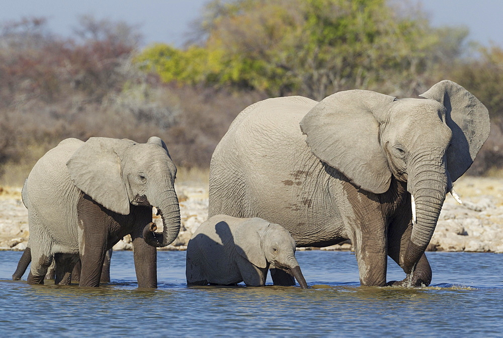 African elephant (Loxodonta africana) cow with two calves at waterhole, Etosha National Park, Namibia, Africa