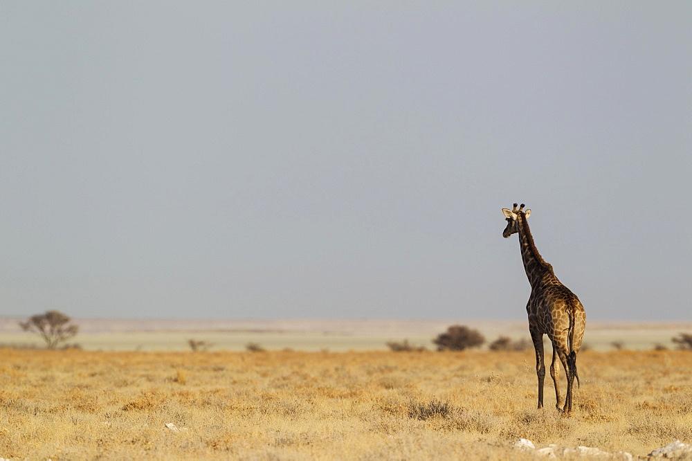 South African giraffe (Giraffa camelopardalis giraffa) female roaming at edge of Etosha Pan, Etosha National Park, Namibia, Africa