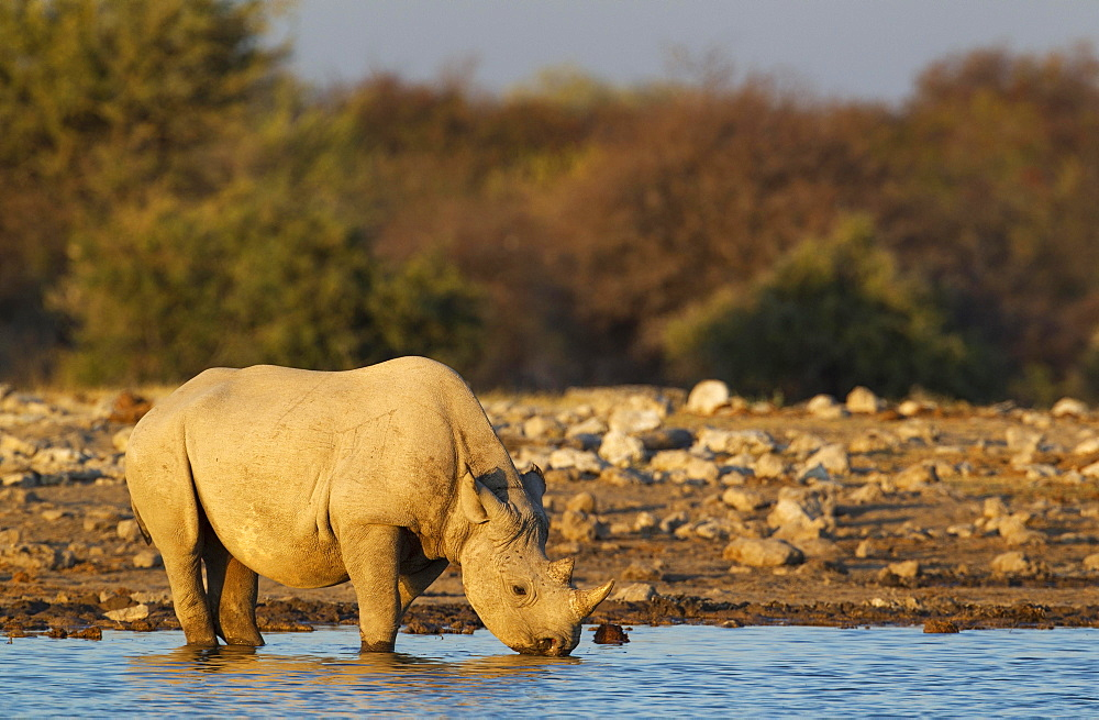 Black rhinoceros or hook-lipped rhinoceros (Diceros bicornis) male drinking at waterhole, evening light, Etosha National Park, Namibia, Africa