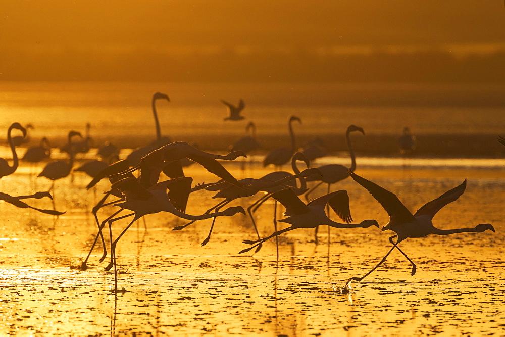 Greater Flamingos (Phoenicopterus roseus), in flight, at sunset, silhouette, Laguna de Fuente de Piedra, Malaga province, Andalusia, Spain, Europe