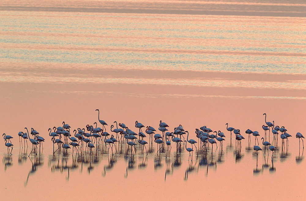 Greater Flamingos (Phoenicopterus roseus), resting at dusk, Laguna de Fuente de Piedra, Malaga province, Andalusia, Spain, Europe