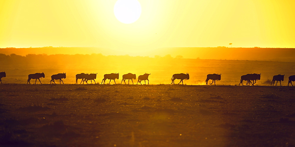 Blue Wildebeest (Connochaetes taurinus), gnu herd, silhouettes at sunrise, Maasai Mara, Narok County, Kenya, Africa