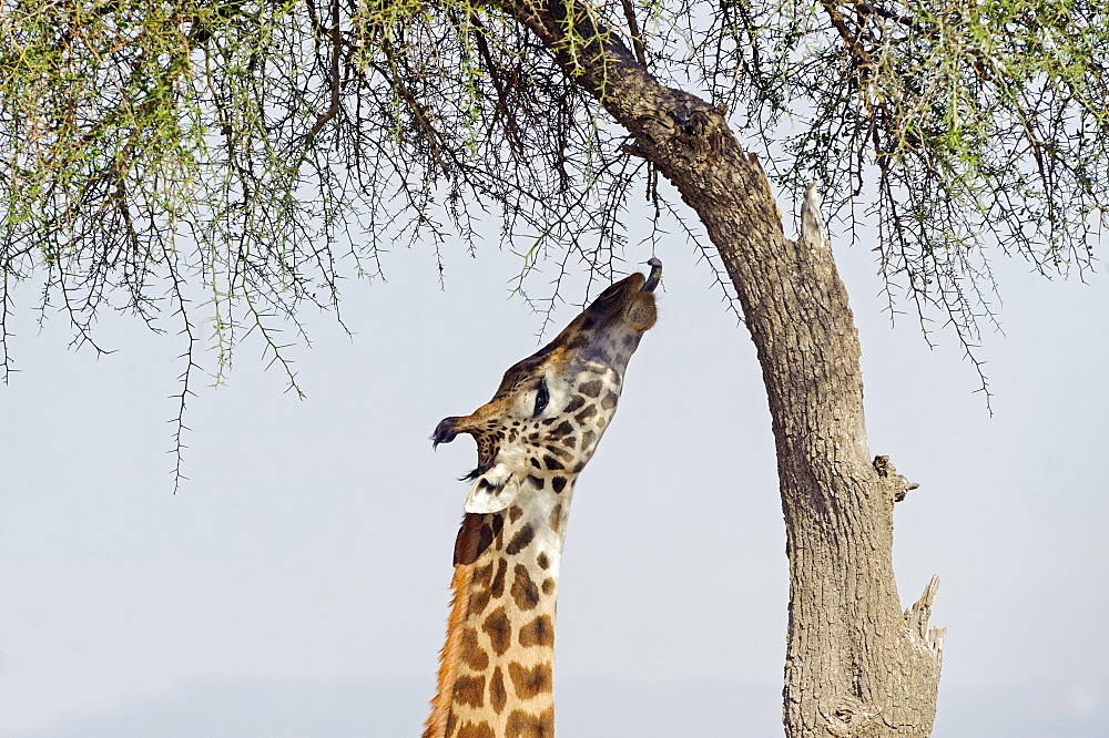 Masai giraffe (Giraffa camelopardalis) feeding on a great acacia tree, Masai Mara National Reserve, Narok County, Kenya, Africa
