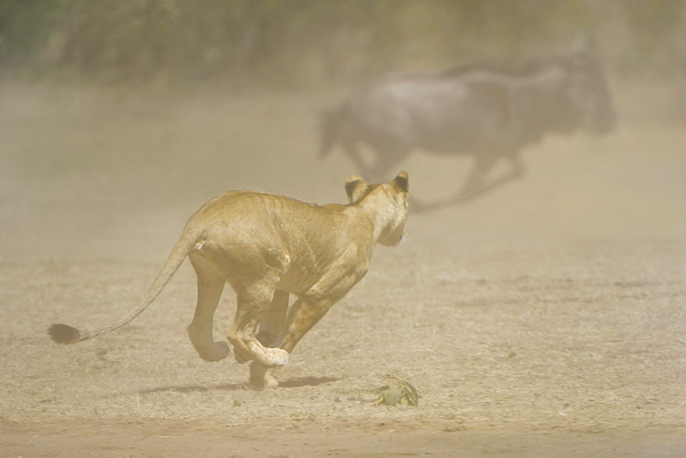 Young lion (Panthera leo) attacking a herd of wildebeest, Maasai Mara National Reserve, Narok County, Kenya, Africa