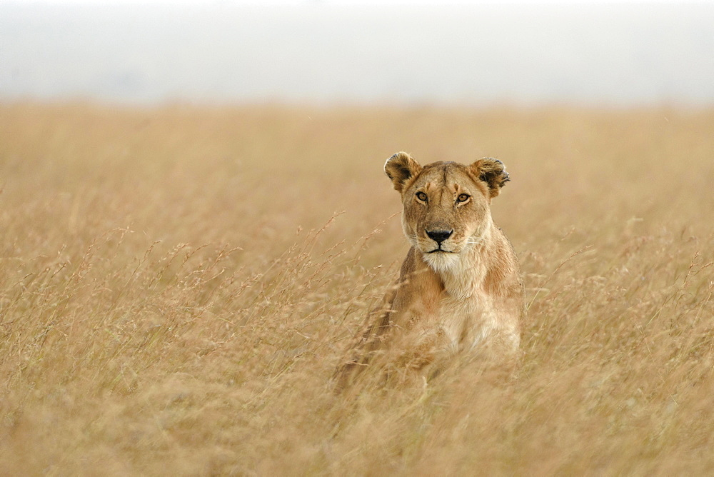 Lioness (Panthera leo) sitting in tall grass, Maasai Mara National Reserve, Narok County, Kenya, Africa