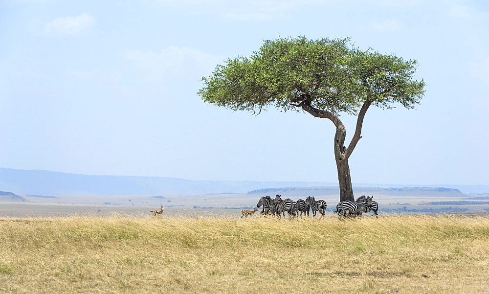 Vast landscape in the Masai Mara with zebras (Equus quagga) under an umbrella thorn acacia (Acacia tortilis), Maasai Mara National Reserve, Narok County, Kenya, Africa
