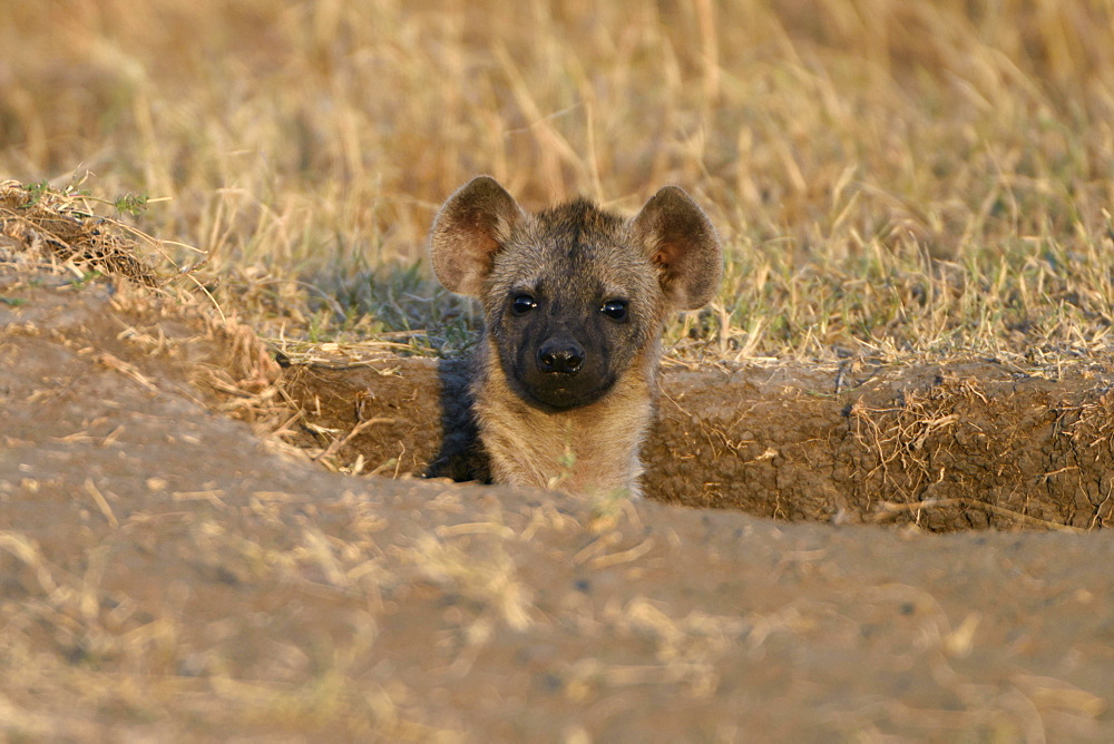 Young spotted hyena (Crocuta crocuta) looking out of the burrow in the morning light, Maasai Mara National Reserve, Narok County, Kenya, Africa