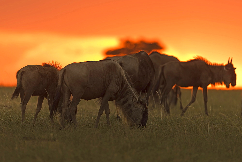 Gnus or Wildebeests  (Connochaetes taurinus) at sunset, Maasai Mara National Reserve, Narok County, Kenya, Africa