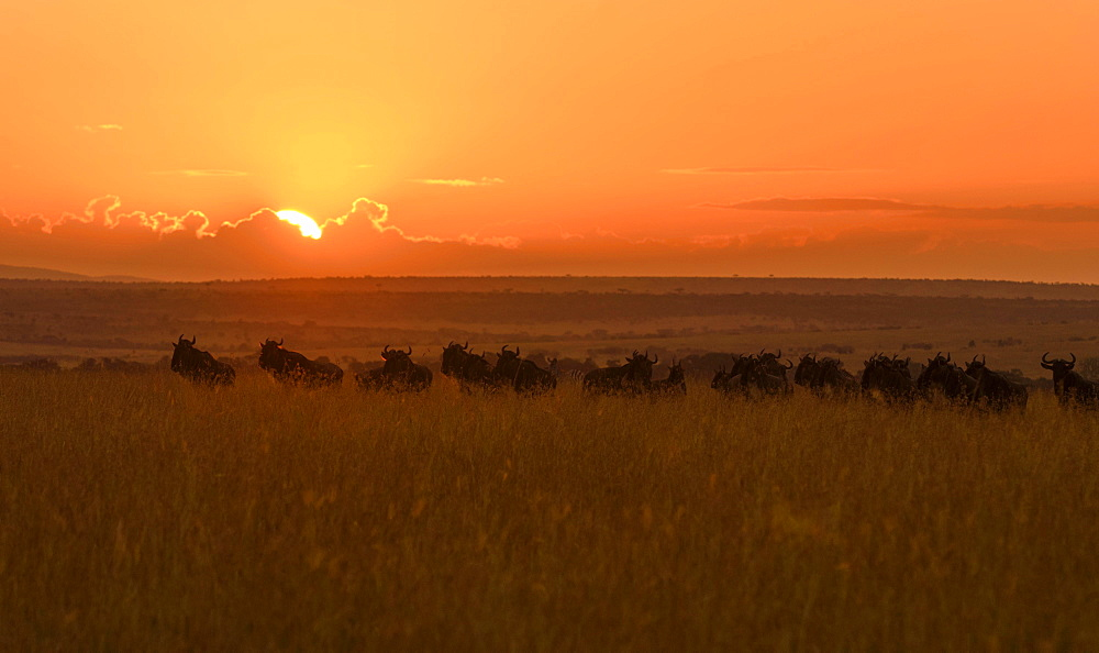 Herd of wildebeests or gnus (Connochaetes taurinus) at sunrise, Maasai Mara National Reserve, Narok County, Kenya, Africa