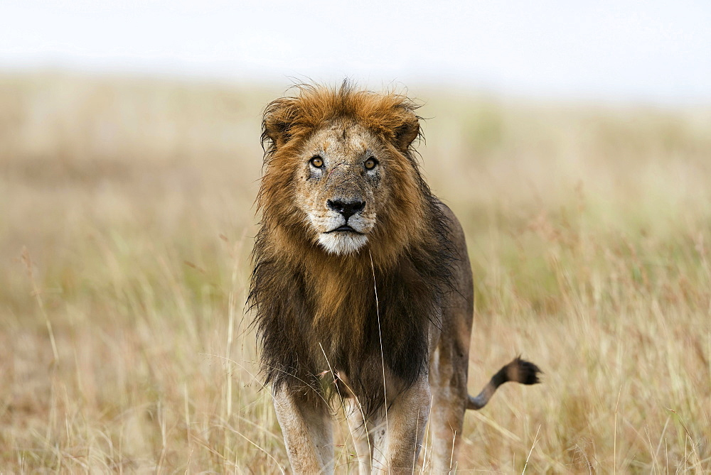 Wet lion (Panthera leo), male, Masai Mara, Narok County, Kenya, Africa