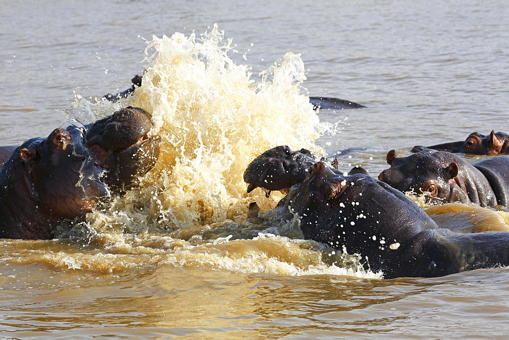 Hippos arguing (Hippopatamus amphibius) in the water, iSimangaliso Wetland Park, National Park, Kwazulu Natal, South Africa, Africa