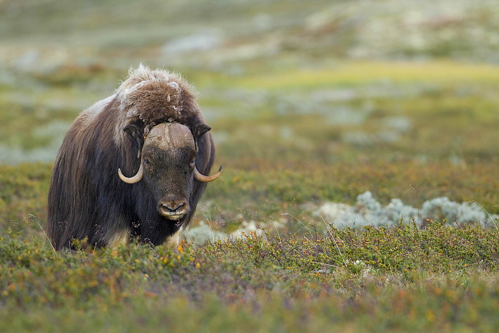 Muskox (Ovibos moschatus), bull on the fjell, Dovrefjell-Sunndalsfjella National Park, Norway, Europe