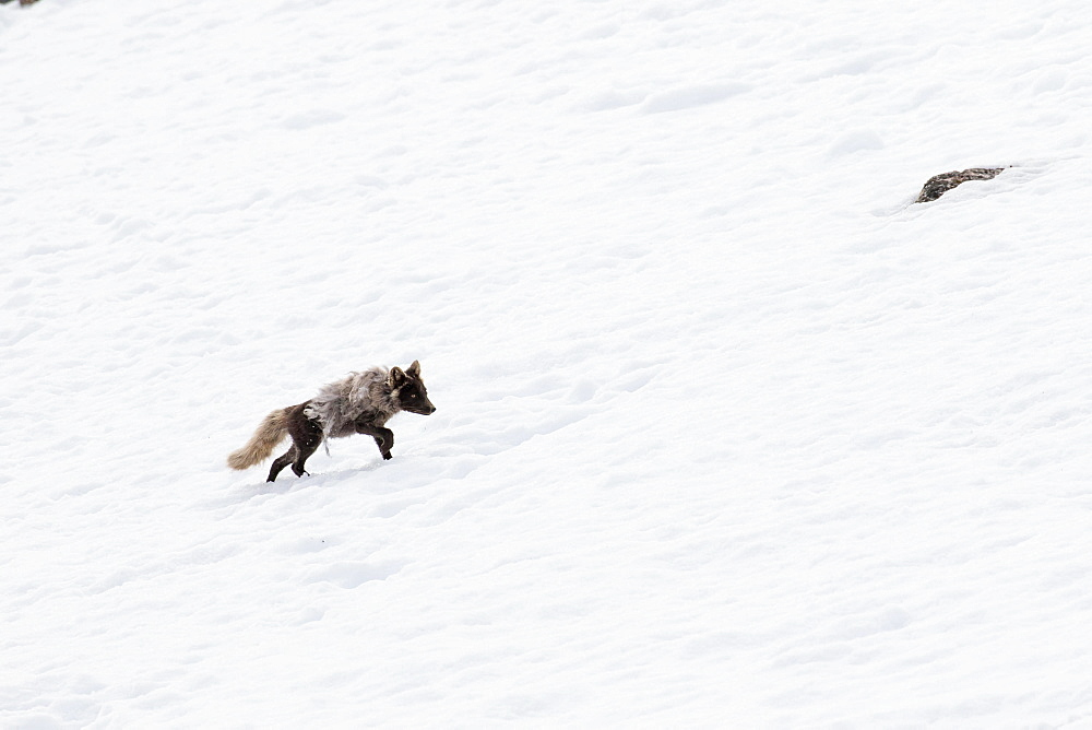 Arctic fox (Vulpes lagopus), running in the snow, Spitsbergen, Norway, Europe