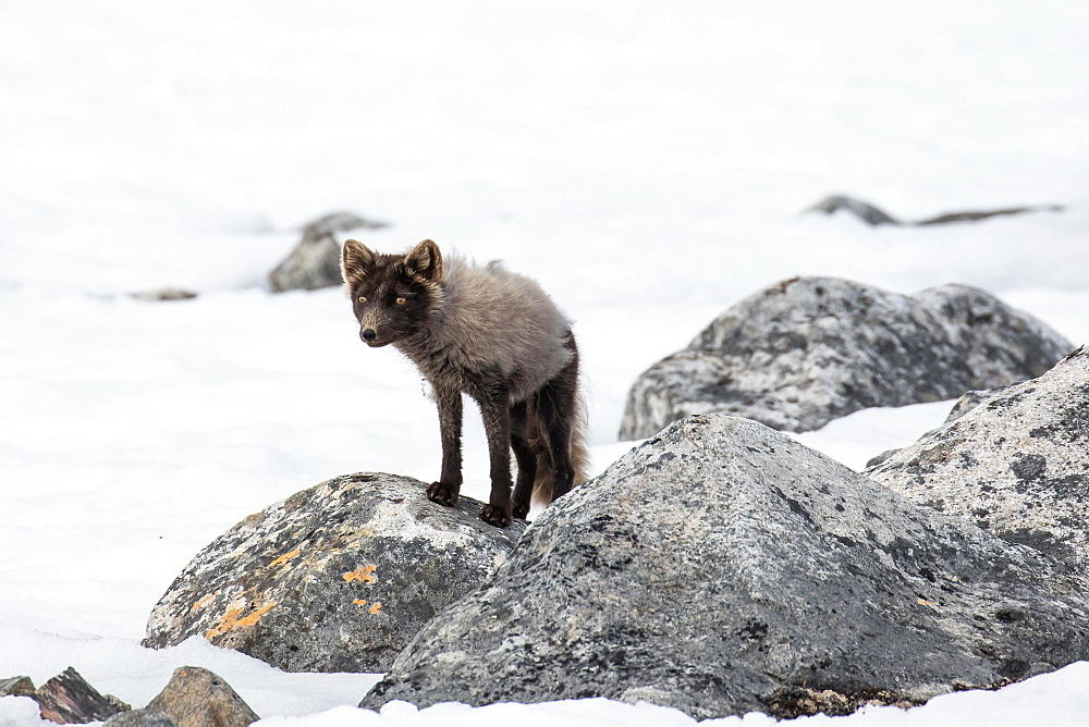 Arctic fox (Vulpes lagopus), in the snow, Spitsbergen, Norway, Europe