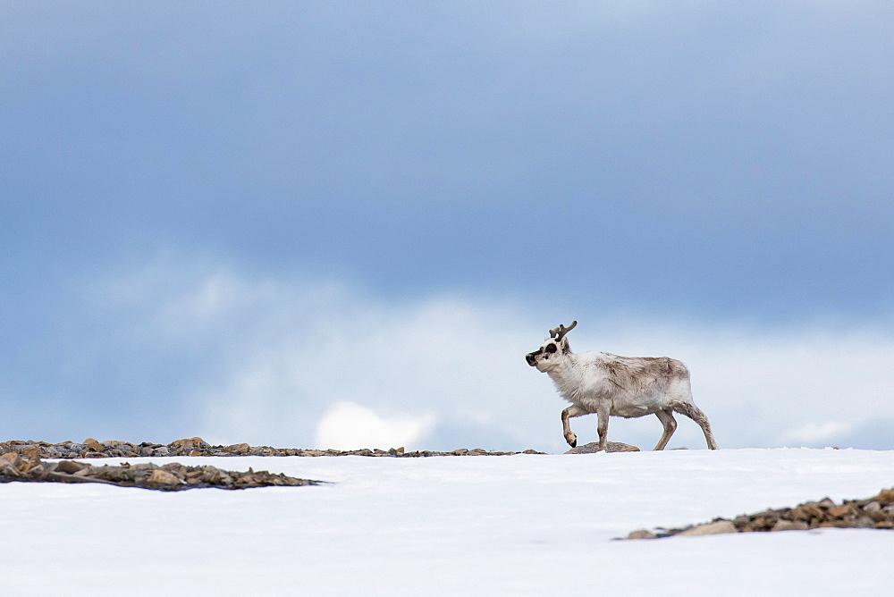 Svalbard reindeer (Rangifer tarandus platyrhynchus), Spitsbergen, Norway, Europe
