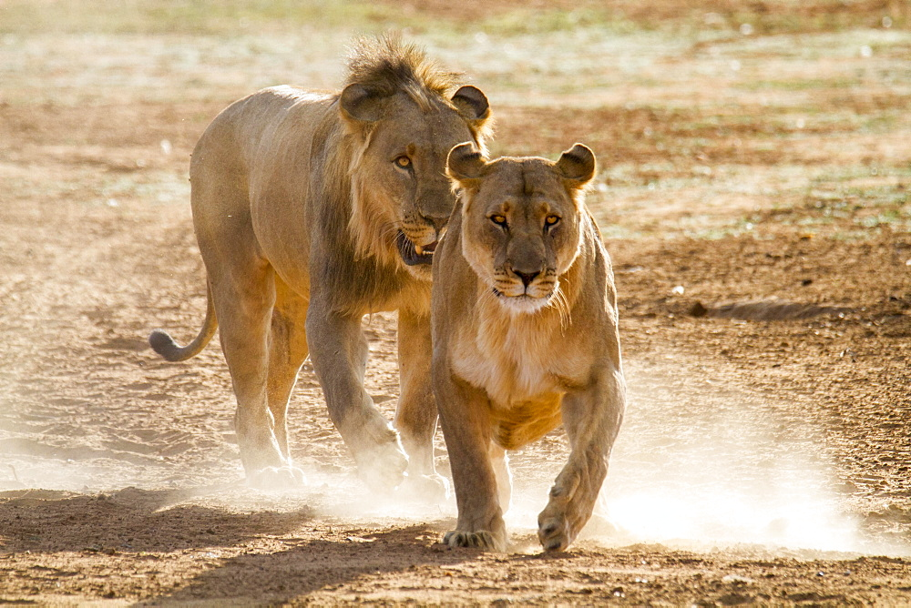 Lion (Panthera leo) drives female during mating, Erindi Reserve, Namibia, Africa