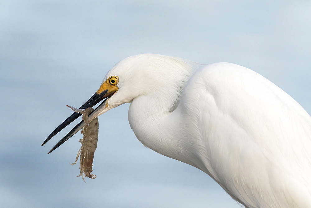 Snowy egret (egretta thula) with preyed shrimp, Ding Darling National Wildlife Refuge, Sanibel Island, Florida, USA, North America