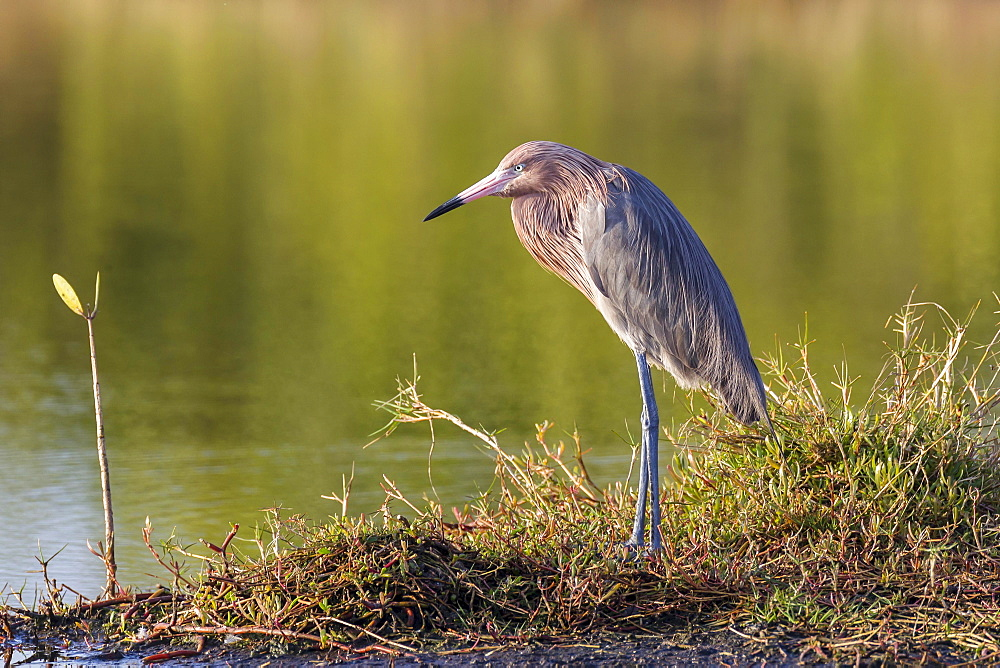 Reddish egret (Egretta rufescens), Ding Darling National Wildlife Refuge, Sanibel Island, Florida, USA, North America